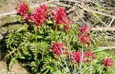Pedicularis densiflora, Indian Warrior at Santa Margarita