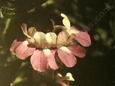 This is a closeup photo of the whorled flowers of Collinsia heterophylla, Chinese Houses.