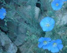 Linum lewisii, Blue Flax, has flowers of the most sky-blue, and each flower only seems to last one day, and so are even more precious.