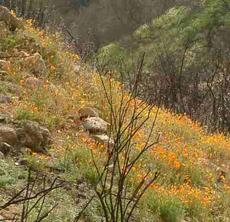 A natural recovery of a California ecosystem after a fire.NO grasses or weeds. - grid24_6