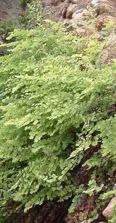 Adiantum jordanii, California Maiden-Hair Fern, loves the habitat in this moist greenhouse rock wall.