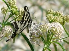 Asclepias fascicularis, Narrow-leaf milkweed with Swallowtail butterfly - grid24_6