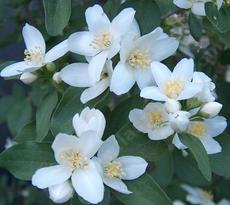Here is a closeup photo of the fragrant flowers of Philadelphus lewisii, Wild Mock Orange.
