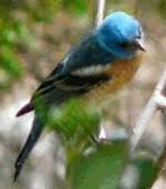 The thumbnail of Lazuli Bunting - grid24_6