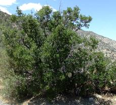 Quercus-cornelius-mulleri as a tree along Hwy. 18 North of Big Bear. This oak is native to much of interior Southern California. - grid24_6