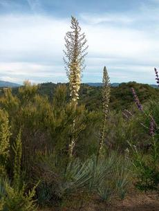 Yucca in the chaparral plant community. - grid24_6