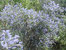 This picture of Ceanothus parryii in the wild was sent to us by a customer up in Northern California.
