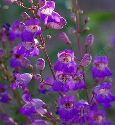 The northern form of Penstemon grinnellii. The leaves are gray, plant is more upright, larger.