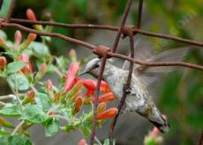 Annas Hummingbird, Calypte anna, hanging on a wire for Keckiella cordifolia, Heart Leaf Penstemon. This Penstemon likes part shade. - grid24_6