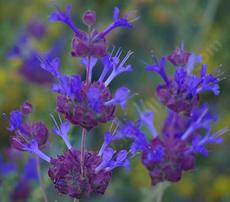 Salvia Celestial Blue is REALLY blue. Native plants are wonderfully fragrant and colorful. Celestial Blue has grown into a six ft. bush with no irrigation in both Los Angeles and San Diego. You'll have to water it a few times to start it, but then it's a natural! - grid24_6