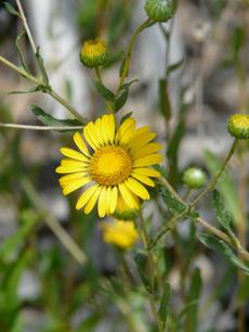 Grindella hirsutula, Hairy gumplant, flower and buds. - grid24_6