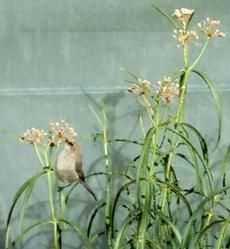 A Bushtit eating the aphids off of the Milkweed. - grid24_6
