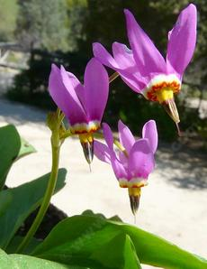 Dodecatheon pulchellum, Pretty Shooting Star
