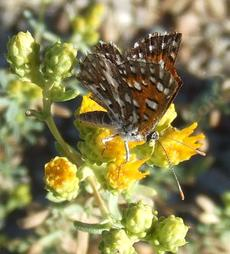 Hazardia squarrosus ssp. grindelioides is also know as a Saw toothed goldenbush. This one has a Behl or Mormon Metalmark Butterfly enjoying it.