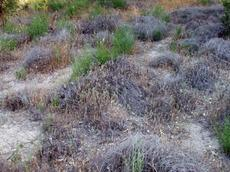 If weeds cover the site, native plants have a hard time coming back. Deerweed is trying here, but with very limited success. Got a match? Weeds burn very easily, and come back as even more weeds, less native plants. What a mess. - grid24_6
