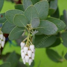 Arctostaphylos glandulosa mollis, and then it set seed and we had to change it to glandulosa x glauca.