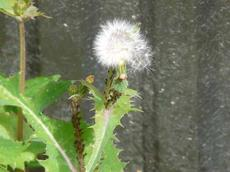 Sow Thislte, Sonchus oleraceus, differs from a Dandelion in that it has leaves up the stem. - grid24_6