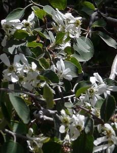 Amelanchier utahensis flowers