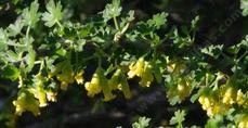 Ribes quercetorum. Oak Gooseberry, Yellow Gooseberry