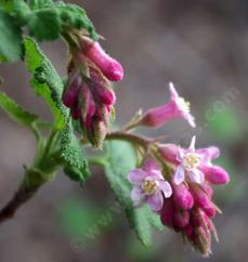A close up of  Ribes malvaceum