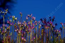 Dodecatheon clevelandii, shooting stars - grid24_6
