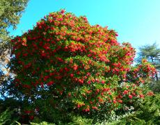 Christmas berry or Toyon  bush occurs up and down the California coast and Sierras. - grid24_6