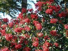Christmas berry or Toyon with berries is what Hollywood was named after. Toyon will grow in most of Los Angeles with no water after first year. - grid24_6