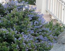 Ceanothus Joyce Coulter in a San Francisco garden. - grid24_6