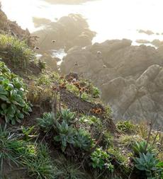 Dudleya lanceolata Liveforever, Erigeron glaucus and  Armeria maritima are native plants on this coastal bluff overlooking the ocean. - grid24_6