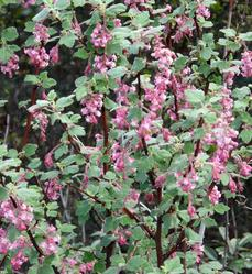Ribes malvaceum, Pink Chaparral currant flower show. - grid24_6