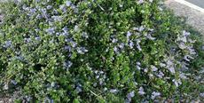 Ceanothus Yankee Point in a parking lot. This is probably the most popular ground cover in California. - grid24_6