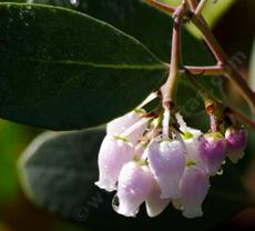 Arctostaphylos parryana. Parry Manzanita flowers after a spring rain. - grid24_6