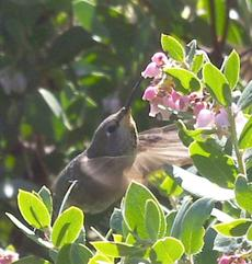 Arctostaphylos refugioensis, Refugio Manzanita with Anna Hummingbird in a natural setting created in your yard. - grid24_6
