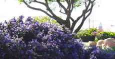 Ceanothus Dark Star in Morro Bay 100 feet from the water. - grid24_6