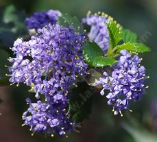 Close up of Ceanothus Mill's Glory flowers. Un-watered California native plants can better than watered non-native plants.