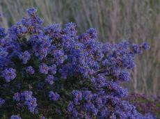 Ceanothus Julia Phelps flowers a deep purple. - grid24_6