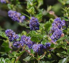 Ceanothus tomentosus, Woolly Leaf Mtn. Lilac has deep blue flowers. - grid24_6