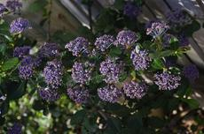 Ceanothus gloriosus Hearts Desire groundcover Mountain Lilac sprawls along at about one tall.