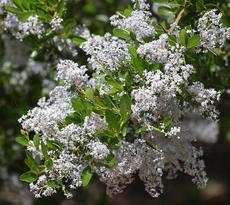 Ceanothus spinosus,  Red-Heart Mountain Lilac. flowers - grid24_6