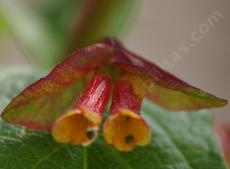 Lonicera involucrata ledebourii, Twinberry flowers were made for hummingbirds.