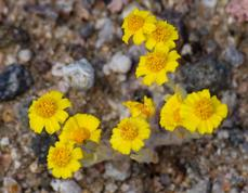 Eriophyllum wallacei (syn. Antheropeas wallacei),dwarf daisy, woolly daisy - grid24_6