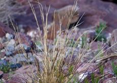 Aristida purpurea var. nealleyi (blue threeawn) in the wild eastb of Barstow