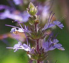 Salvia sonomensis, Creeping Sage has a nice blue flower on a flat leaves.