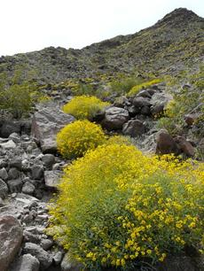 Encelia farinosa, Brittlebush, Goldenhills, Incienso on a Newberry Springs hillside - grid24_6