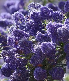Ceanothus Concha has many colors, shades, and  tones. Some years the plants are more reddish purple, some years bright blue, some years larger flowers, some years more smaller flowers. Always beautiful. - grid24_6
