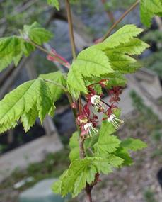Acer circinatum, Vine Maple with flowers - grid24_6