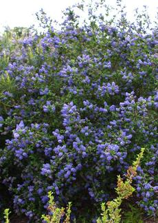 Ceanothus Mountain Haze is a California liac with deep green foliage that loves coastal California gardens. - grid24_6
