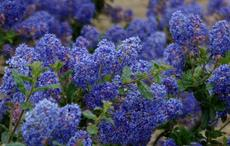 Ceanothus Frosty Blue flower will turn deep blue on cold years.