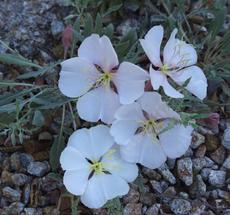 Oenothera californica California Evening primrose, and it smells GOOD