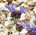 Salvia clevelandii Deer Springs